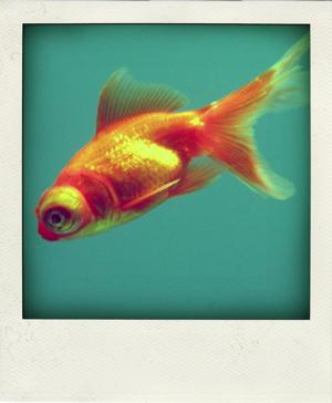 Goldfish-pola smaller