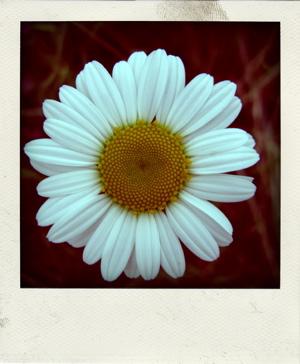 Daisy-pola