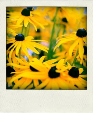Poladroid sunflowers
