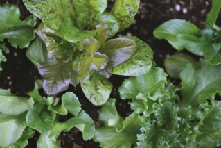 Blog - salad greens original