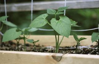Blog - bush beans original