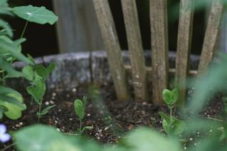Blog - sweet peas original