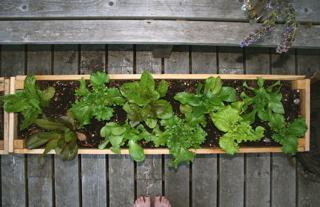 Blog - lettuces overhead original