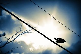 Crow taking flight 4