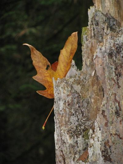 Leaf_in_trunk